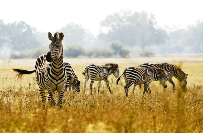 Where in Africa do most zebras live?